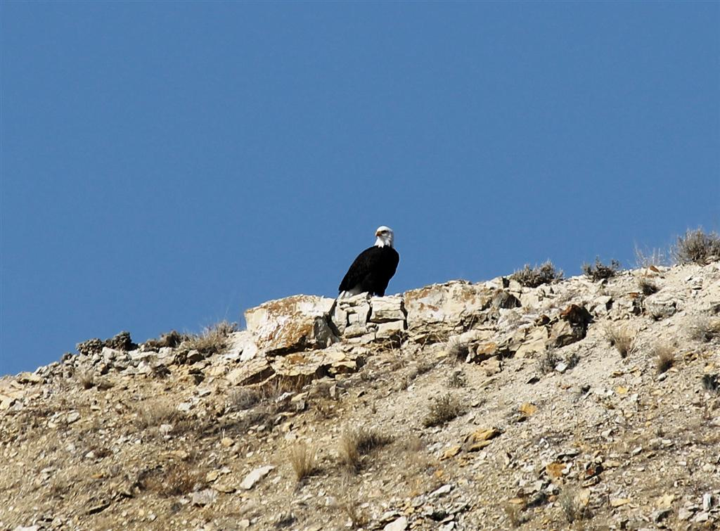 bald-eagel-canyon-ferry-2
